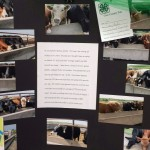 Sydney Amdor - Calf project